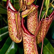 Asian Pitcher Plant Art Print