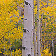 Aspen Trees In A Forest, Telluride, San Art Print