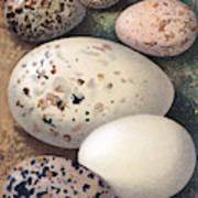 Assorted Birds Eggs, Historical Art Art Print