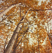 Autumn Aspens Art Print by Priska Wettstein