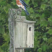 Backyard Bluebird 2 Art Print