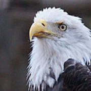 Bald-eagle-profile Art Print