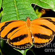 Banded Orange Butterfly Art Print
