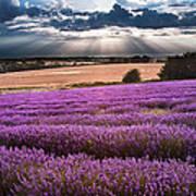 Beautiful Lavender Field Landscape With Dramatic Sky Art Print