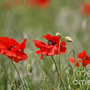 Beautiful Poppies 1 Art Print