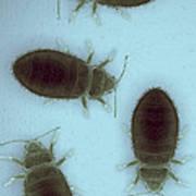 Bed Bugs Cimex Lectularius Art Print
