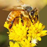 Bee On A Yellow Flower Art Print