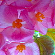 Begonia Debut Art Print