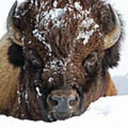Bison In Snow Art Print