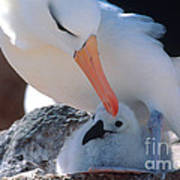 Black-browed Albatross With Chick Art Print by Art Wolfe