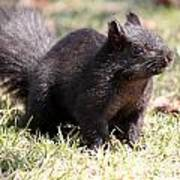 Black Squirrel Art Print