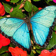 Blue Morpho Butterfly Art Print