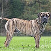 Boerboel Dog Art Print