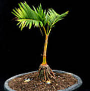 Bonsai Palm Tree Art Print