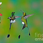 Booted Racket-tail Hummingbird Males Art Print