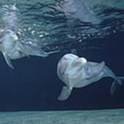 Bottlenose Dolphin  Pair Hawaii Art Print