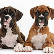 Boxer Puppies Art Print