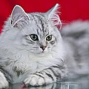 British Longhair Kitten Art Print