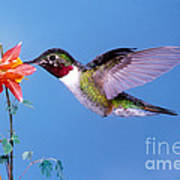 Broad-tailed Hummingbird Art Print