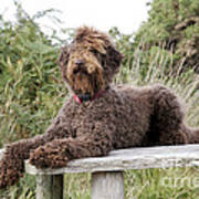 Brown Labradoodle Art Print