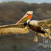 Brown Pelican In Flight Art Print