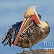 Brown Pelican Preening Art Print