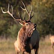 Bugling Bull Elk Art Print