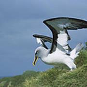 Bullers Albatross With Colorful Bill Art Print