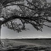 Burr Oak Tree Art Print