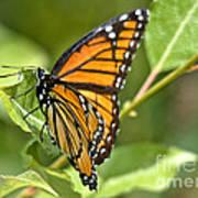 Busy Butterfly Art Print