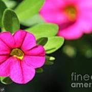 Calibrachoa Named Colorburst Rose Art Print