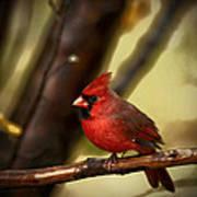 Cardinal Pose Art Print