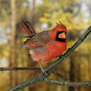 Cardinal Rouge Cardinalis Cardinalis Art Print