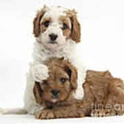 Cavapoo Puppies Hugging Art Print