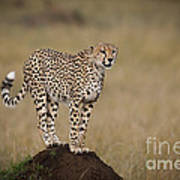 Cheetah On Termite Mound Art Print