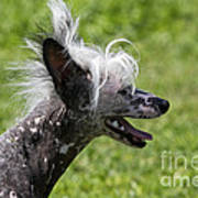 Chinese Crested Dog Art Print