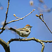 Chipping Sparrow Perched In A Tree Art Print