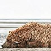 Coastal Brown Bear Picture  Art Print