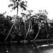 Coconut Trees And Other Plants In A Creek Art Print