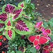 Coleus Excitement Art Print