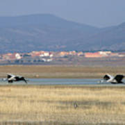 Common Cranes At Gallocanta Lagoon Art Print