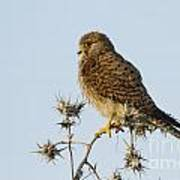 Common Kestrel Falco Tinnunculus Art Print