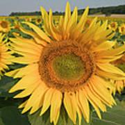Common Sunflower Helianthus Annuus Art Print