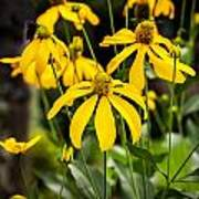 Coneflowers Echinacea Yellow Painted Art Print by Rich Franco
