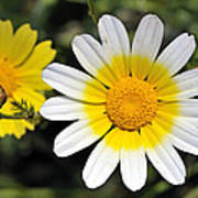 Crown Daisy Flower Print by George Atsametakis