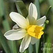 Cyclamineus Daffodil Named Jack Snipe Art Print