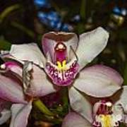 Cymbidium Orchid Art Print