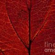 Dogwood Leaf Backlit Art Print
