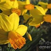Dwarf Cyclamineus Daffodil Named Jet Fire Art Print