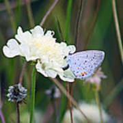 Eastern Tailed Blue Butterfly On Pincushion Flower Art Print